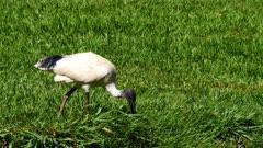 Ibir, white, Australian, feeding, close