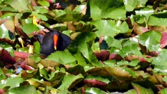 Moorhen, Swamp, close, slowmo, feeding on aquatic vegetation