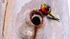 Lorikeet, Rainbow, feeding chick on nest on hole in a Gumtree