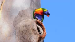 Lorikeet, Rainbow, feeding chick on nest on hole in a Gumtree