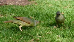 Bowerbird, Satin, feeding on the ground, female and juveniles