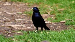 Bowerbird, Satin, feeding on the ground