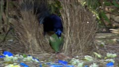 Bowerbird, Satin, displaying and mating
