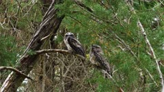 Frogmouth, Tawny, dawn, couple coming from night raid, going to sleep the day