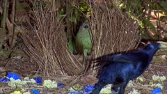 Bowerbird, Satin,edited video on bower building and caring,