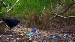Bowerbird, Satin, Satin Bowerbird female arrives shows cloaca and puts in position, male initiate display even showing pennis, in the end he flees and she too