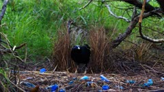 Satin Bowerbird arranging petals and displaying