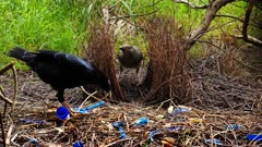 Satin Bowerbird, female  arrives, male displays and when tries to mate she flees