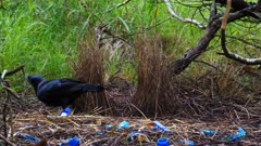 Bowerbird, Satin, cleaning up the mess around the bower ground, arranging jewels