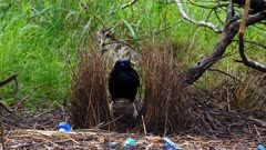 Bowerbird, Satin,  arranging bower zoom in/out