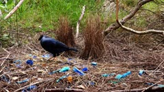 Bowerbird, Satin, arranging jewels in front of the bow