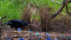 Bowerbird, Satin, arranging jewels in front of the bower