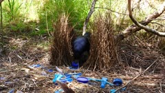Bowerbird, Satin, arrives and moves a bottle cap out of the way
