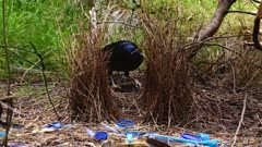 Bowerbird, Satin, arrives to arrange fibers, zoom in