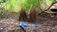 Bowerbird, Satin, arrives with a plant jewell and flips a blue feather