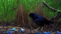 Bowerbird, Satin, dawn, arranging bow and area around