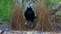 Bowerbird, Satin, puts sort of glue to the fibers of the bow, zoom