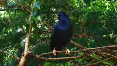 Bowerbird, Satin, perched near bower