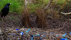 Bowerbird, Satin, takes 3 items out of the area of the bower