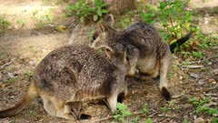 Wallaby, Mareeba Rock, male wants to mate but the female still has the joy in her pouch and is not ready, rejects him