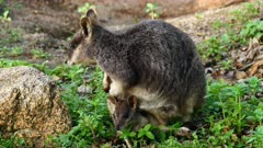 Wallaby, Mareeba Rock, joy grazing from the pouch