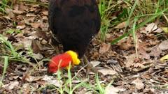 Turkey, Australian Brush, feeding on the ground