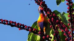 Lorikeet, Rainbow, licking flowers of Umbrella tree flowers, 4k, 50p