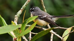 Fantail, Grey perching and displaying