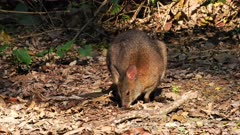Pademelon, Red-necked