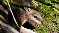 Bridled nail-tail Wallaby resting