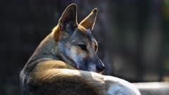 Dingo, alert, resting