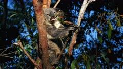 Koala, feeding
