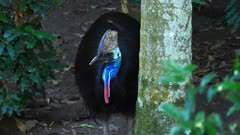 Southern Cassowary in the forest