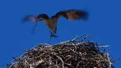 Osprey arriving on nest