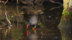 Moorhen, Dusky, feeding on a pond around the nest