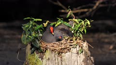 Moorhen, Dusky, on nest on a stump, feeding and fed by adult