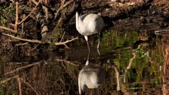 Australian White Ibis, feeding on pond's edge