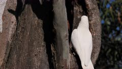 Little Corella, couple inspecting holes for nesting