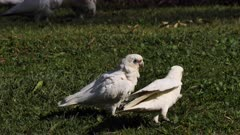 Little Corella (cockatoo) doing mate ritual