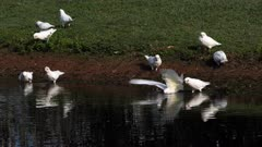 Little Corella (cockatoo), flock  drinking on a pond