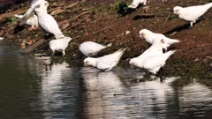 Little Corella (cockatoo) flock drinking on a pond
