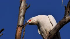 Little Corella (cockatoo) perched near nest hole, displaying