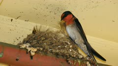 Welcome Swallow Breeding on roof on a parking lot