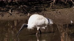 Australian White Ibis, feeding and preening on pond's edge