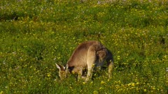 Eastern Grey Kangaroo grazing,  stands alert and goes back to feed