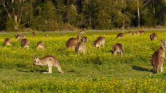 Eastern Grey Kangaroo mob grazing, two hopping in the back