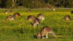 Eastern Grey Kangaroo mob grazing