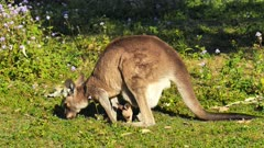 Eastern Grey Kangaroo with joy in pouch, both grazing, she lays down and both continue grazingched  and goes back hopping