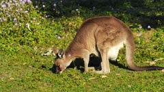 Eastern Grey Kangaroo with joy in pouch, grazing and preening