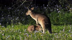 Eastern Grey Kangaroo, joy suckling, plays with mother, returns lo suckle and alert goes back hopping